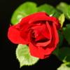 情熱の真紅の薔薇