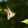 アオスジアゲハの飛翔