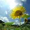 向日葵 1
