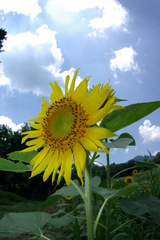 向日葵 4