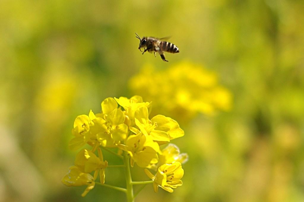 A Hopping Honeybee