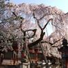 氷室神社-枝垂れ桜3