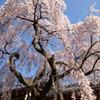 氷室神社-枝垂れ桜5