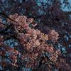 枝垂桜はこれから