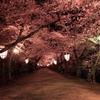 弘前城桜のトンネル