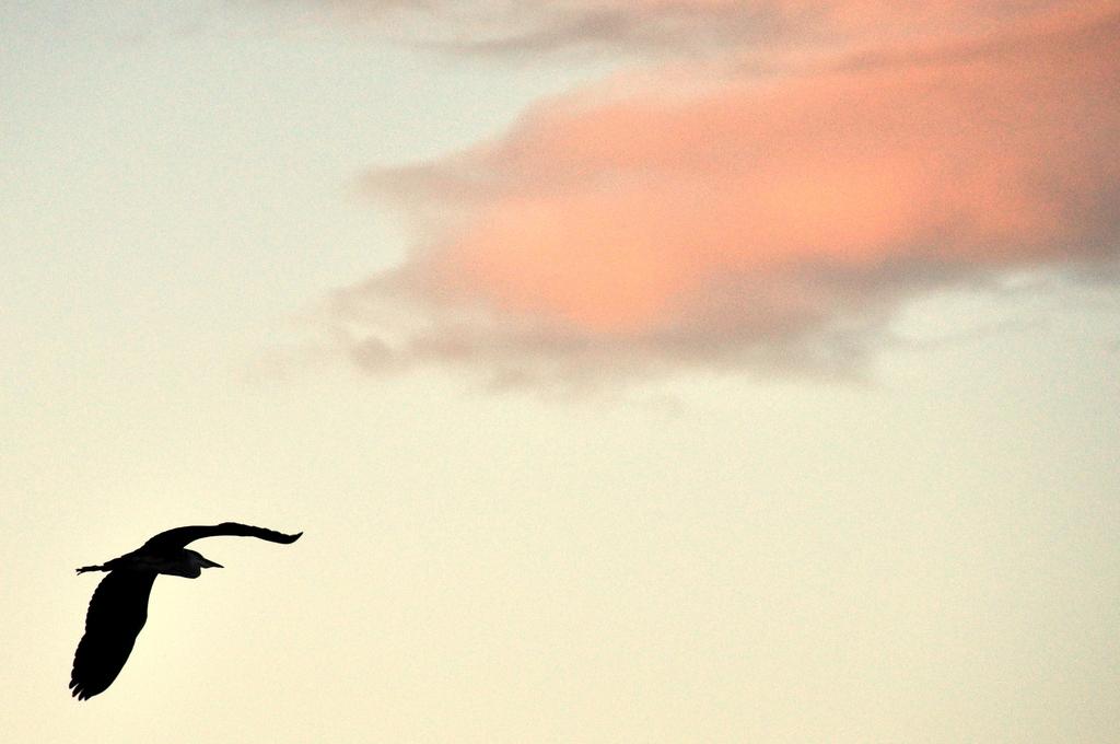 サギ、飛ぶ