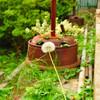 茎が長いタンポポ