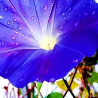 RICOH RICOH GX200で撮影した植物(朝顔)の写真(画像)