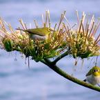 OLYMPUS SP550UZで撮影した動物(花を咲かせたリュウゼツランとメジロ)の写真(画像)