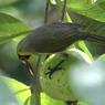 CANON Canon EOS Kiss X3で撮影した動物(ハハジマメグロ-2)の写真(画像)