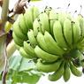 CANON Canon EOS Kiss X3で撮影した植物(島バナナ)の写真(画像)