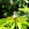 ウグイス(亜種)幼鳥1