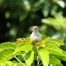 CANON Canon EOS Kiss X3で撮影した動物(ウグイス(亜種)幼鳥1)の写真(画像)