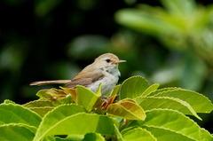 ウグイス(亜種)幼鳥