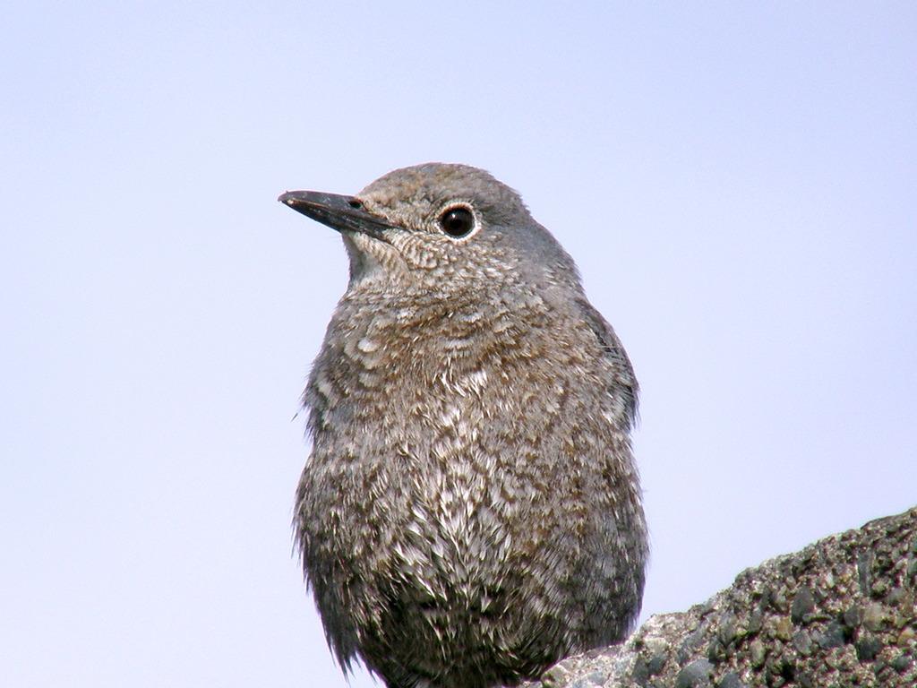 イソヒヨドリ若鳥2