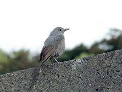 イソヒヨドリ若鳥