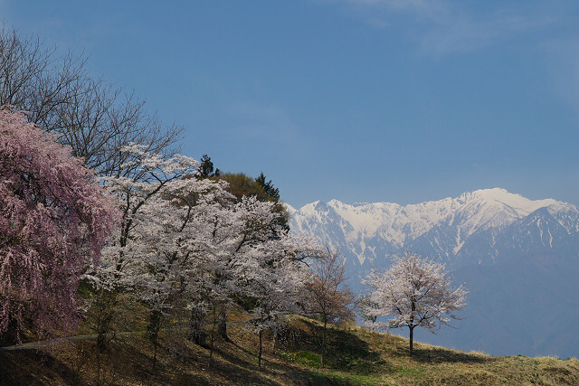 アルプスと桜