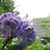7月終わりの紫陽花
