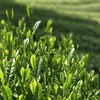 手摘の緑茶