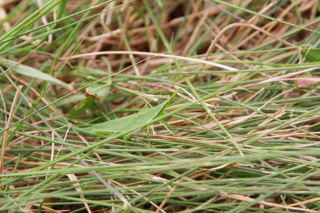 草?いや、オンブバッタだ。 IMG_2895