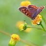 CANON Canon EOS Kiss X2で撮影した動物(お花を見つめるベニシジミ IMG_4659tr)の写真(画像)