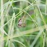 CANON Canon EOS Kiss X2で撮影した動物(ヒメウラナミジャノメ IMG_2157)の写真(画像)