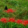 CANON Canon EOS Kiss X2で撮影した動物(クロアゲハと彼岸花って王道だね。 IMG_4915tr)の写真(画像)