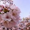 桜風味マリモ(春限定)