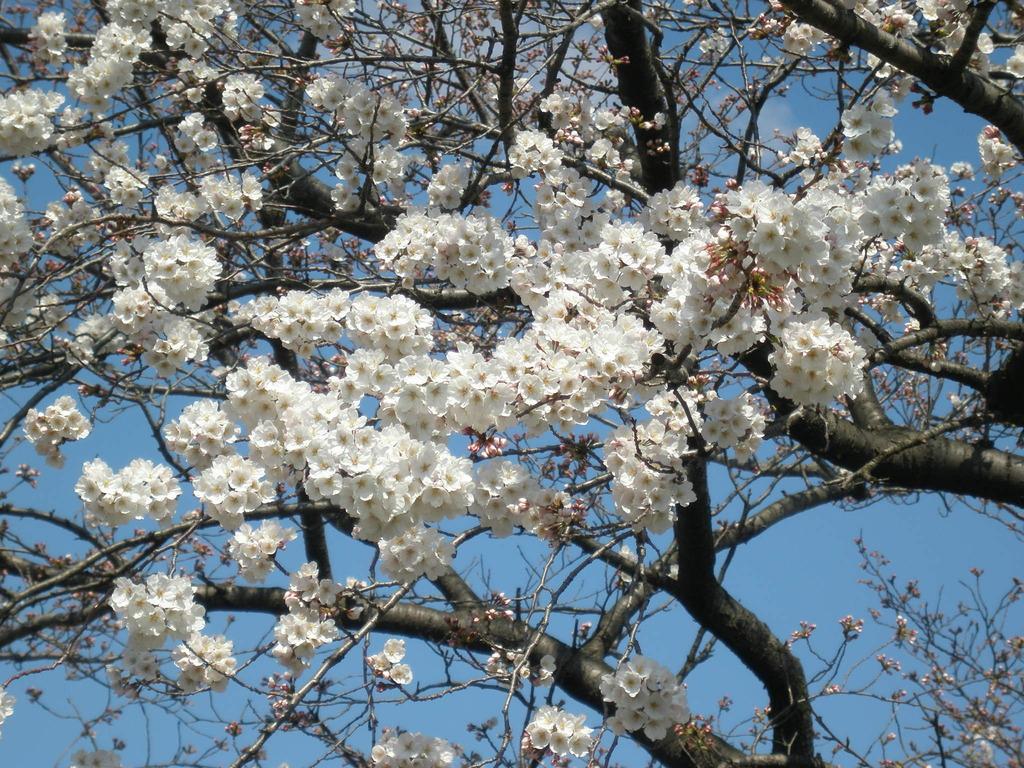西尾市、桜