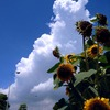 Thunder cloud & sunflower