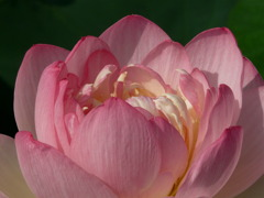 Lotus #3