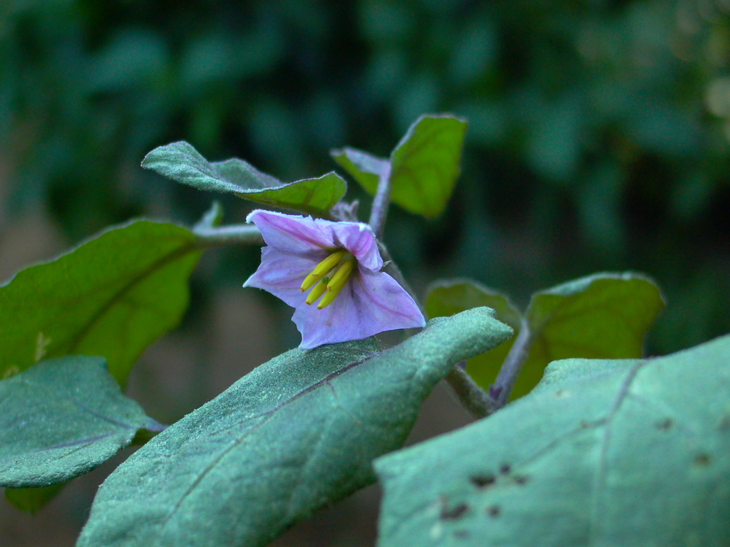 Japanese eggplant flower