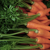 本日の : Carrot : 75days after sowing