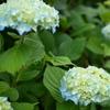 本日の : flower in June