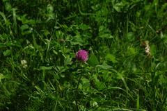 北海道*札幌*アカツメクサの花盛り