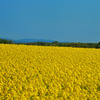 Rape Blossoms 2010