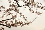 渋め乙女な桜花
