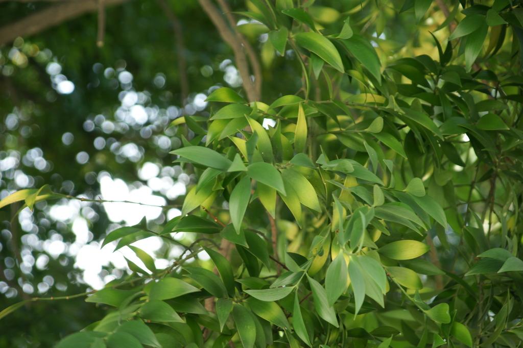 ナギの木。