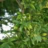 SONY DSLR-A700で撮影した植物(ナギの木。)の写真(画像)