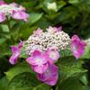 雨上がりの紫陽花 #003