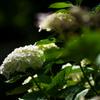 紫陽花 #03