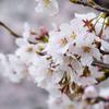 さくら咲く #02