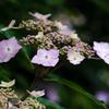 紫陽花 #02
