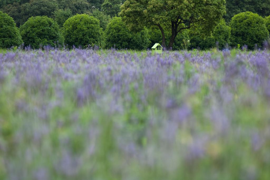 雨上がりのラベンダー畑