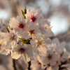 夕桜 #003