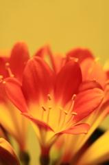 君子蘭咲きました^o^/
