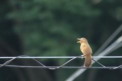ベランダ野鳥Ⅰ