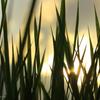 青稲の夕景