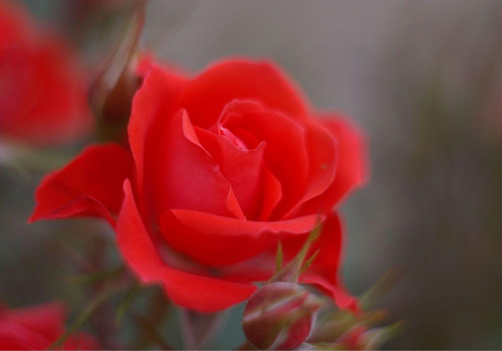 ミニ薔薇1