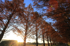 The autumn of Metasequoia tree-lined